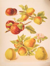 6 varieties of apple are depicted, small, round or conical in shape, yellow or red skinned. Pomona Brittanica pl.45, 1878.