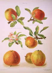 5 apples are illustrated, round to conical shaped, yellow-skinned with variable red streaking. Herfordshire Pomona pl.4, 1878.