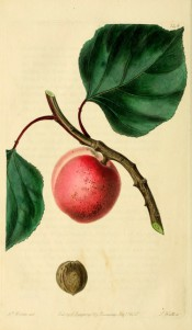 Figured is a small apricot with reddish skin, shown with stem and leaves + kernel. PM t.146, 1830.