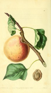 Figured is a large orange apricot with stem and leaves + kernel. PM t.11, 1828.