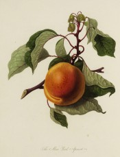 Figured is a large orange apricot with stem and leaves. PL vol.1, pl.9, 1818.