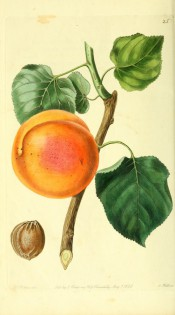 Figured is a large orange apricot with stem and leaves + kernel. PM t.25, 1828.