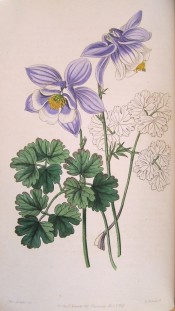 The flowers are pale mauve-violet with white edged corolla and very short spurs.  Botanical Register f.19, 1847.