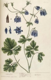 Depicted are the leaves and pendant, violet blue flowers with short spurs.  Blackwell pl.409, 1739.