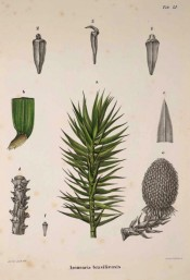 Leaves, female cone and seeds are illustrated.  Die Coniferen t.LI, 1840-41.