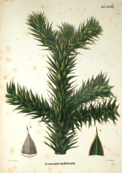 Illustrated are leaves and seeds.  Die Coniferen t.XLVIII, 1840-41.
