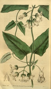 Figured is a climber with lance-shaped leaves and white cup-shaped flowers.  Curtis's Botanical Magazine t.3201, 1832.