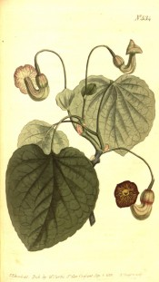 The image depicts large, heart-shaped leaves and purple-brown pipe-like flowers.