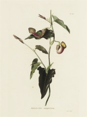 Shown are triangular leaves and funnel-shaped yellow and purple flowers with curved tube. Loddiges Botanical Cabinet no.231,1818