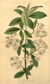 Figured are toothed elliptic leaves and racemes of small white flowers.  Curtis's botanical Magazine t.3668, 1838.
