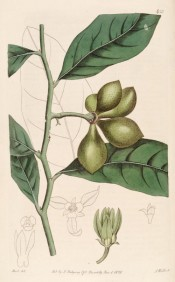 illustrated are the shiny lance-shaped leaves, greenish fruits and yellow-green flower.  Botanical Record f.423, 1820.