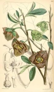Illustrated are the browny-green flowers, leaves, and fruit in outline.  Curtis's Botanical Magazine t.5854, 1870.