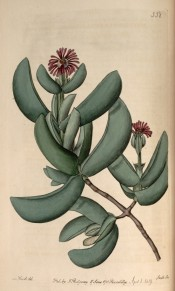 Figured are half-moon shaped, fleshy leaves and rose-coloured, daisy-like flowers.  Botanical Register f.358, 1819.
