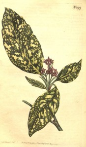 Illustrated is the yellow-splotched leaf and red flowers.  Curtis's botanical Magazine t.1197, 1809.