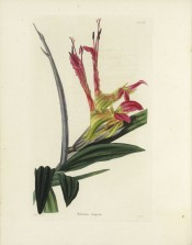 Figured are lance-shaped leaves and somewhat tubular scarlet-purple-flowers.  Loddiges Botanical Cabinet no.1006, 1825.