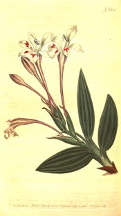 Illustrated are lance-shaped leaves and white flowers with red markings.  Curtis's Botanical Magazine