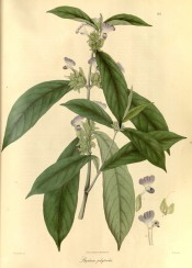 Figured are lance-shaped leaves and spikes of tubular, 2-lipped, blue flowers.  Wallich pl.82, 1830.