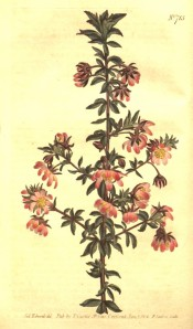 Shown are the 3-palmate, deep green leaves and solitary, bowl-shaped, pink  flowers.  Curtis's Botanical Magazine t.715, 1804.