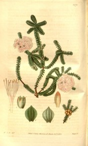 Figured is a shrub with small, dense foliage and feathery pink flowers.  Curtis's Botanical Magazine t.3272, 1833.