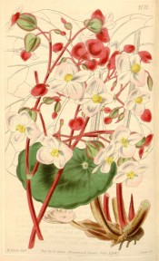 The image depicts a begonia with rounded leaves, red stems and white flowers.  Curtis's Botanical Magazine t.4172, 1845.