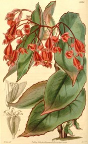 Figured are green, red-tinged leaves and deep red flowers.  Curtis's Botanical Magazine t.3990, 1843.