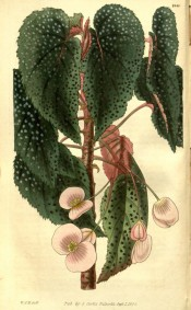 Depicted is a cane begonia with dark green, silver-spotted leaves and pink flowers.  Curtis's Botanical Magazine t.2849, 1828.