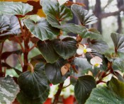 Depicted is a rhizomatous begonia with deep green leaves, red at the back, reddish stems and pink flowers.  Camden Park, CM.