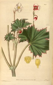 Figured are serrated to lobed, red-edged leaves and clusters of pinkish-white flowers. Curtis's Botanical Magazine t.3387, 1835.