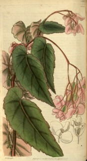Figured are serrated, lance-shaped leaves and clusters of pinkish-white flowers. Curtis's Botanical Magazine t.2900, 1829.