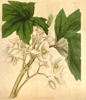Figured are lobed and toothed leaves, similar to a Plane Tree, and white flowers.  Curtis's Botanical Magazine t.3591, 1837.
