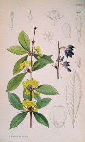Figured is a spiny stem, toothed leaves and axillary racemes of bright yellow flowers. Curtis's Botanical Magazine t.9283, 1935.