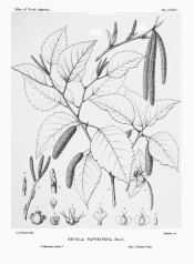 The drawing shows ovate, toothed leaves, catkins and detail of flower parts.  Silva of North America vol.9, pl.451, 1896.