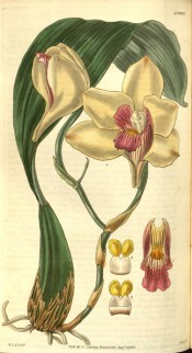 Shown are the large, apical leaf and waxy, creamy-white flowers with a red-purple lip. Curtis's Botanical Magazine t.2927, 1829.