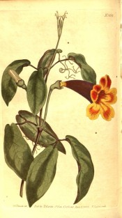 Illustrated are leaves consisting of 2 leaflets and orange, trumpet-shaped flowers.  Curtis's Botanical Magazine t.864, 1805.