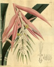 The image shows spiny striped leaves and pendant pink and white flowers.  Curtis's Botanical Magazine t.2686, 1826.