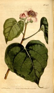 Illustrated are heart-shaped leaves and single pink flowers.  Curtis's Botanical Magazine t.1456, 1812.