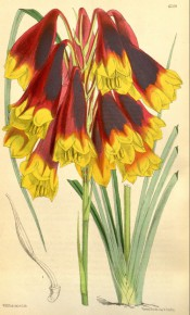 Shown are linear leaves and pendant raceme of red and yellow, trumpet-shaped flowers.  Curtis's Botanical Magazine t.6209, 1876.