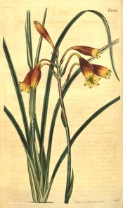 Shown are linear leaves and raceme of red and yellow, tubular-trumpet-shaped flowers.  Curtis's Botanical Magazine t.2003, 1818.