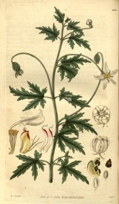 The image depicts deeply cut leaves and white, starry flowers.  Curtis's Botanical Magazine t.2865, 1828.