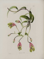 Depicted are stem, leaves and funnel-shaped, greenish-pink, brown-spotted flowers.  Loddiges Botanical Cabinet no.1683, 1832.