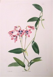 The image depicts a flowering shoot with pink flowers with purple throat.  Loddiges Botanical Cabinet no.1851, 1834.