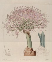 The image shows a robust scape with numerous pale pink flowers.  Botanical Register f.567, 1821.
