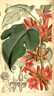 Figured are 3-lobed leaves and bright red, velvety, bell-shaped flowers.  Curtis's Botanical Magazine t.5133, 1859.