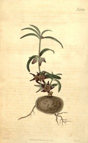 Depicted is the tuberous root and a shoot with leaves and purple-brown flowers.  Curtis's Botanical Magazine t.2343, 1822.