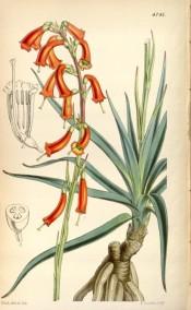The image shows tuberous roots, leaves and orange, tubular flowers.  Curtis's Botanical Magazine t.4741, 1853.
