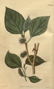 Figured are pointed. toothed, ovate leaves, and both flowers and fruits.  Curtis's Botanical Magazine t.2358, 1823.