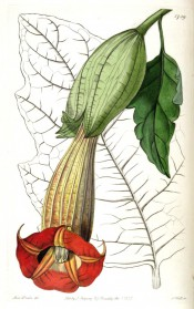 Figured is a large lobed leaf and pendant, narrowly trumpet-shaped red flower.  Botanical Register f.1739, 1835.