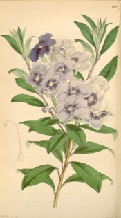 Shown are oblong leaves and crowded terminal cyme of salverform bluish-violet flowers.  Curtis' Botanical Magazine t.4189, 1845.