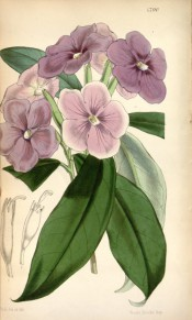 Shown are oblong-lanceolate leaves and terminal cyme of salverform purple flowers.  Curtis' Botanical Magazine t.4790, 1854.