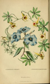 Shown is a blue-flowered shrub at centre and a yellow flowered creeper surrounding it.  Floricultural Cabinet p.146, 1845.